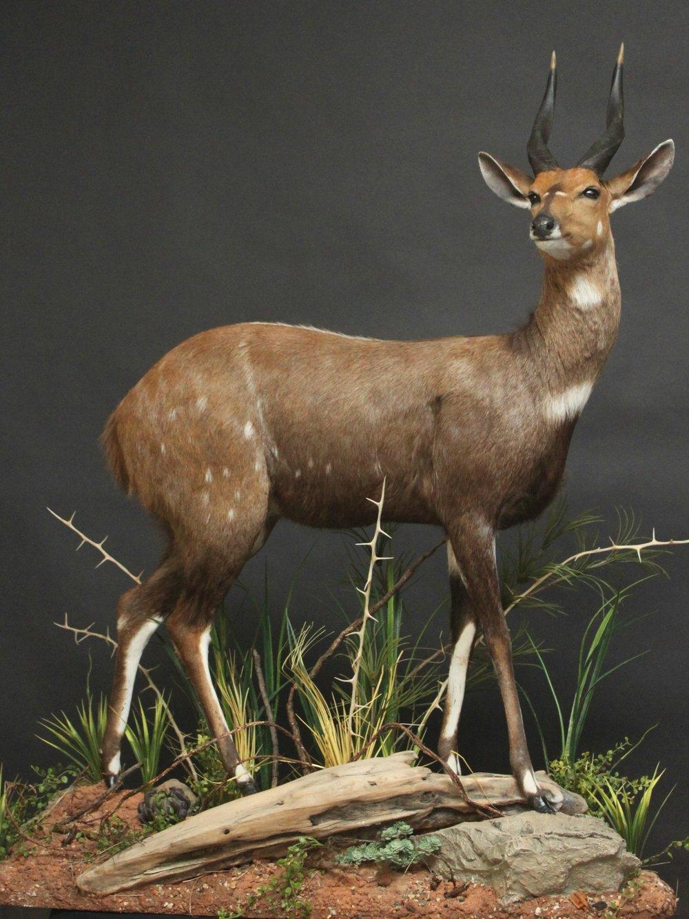 Lifesize on a custom base and habitat    Bushbuck (1)