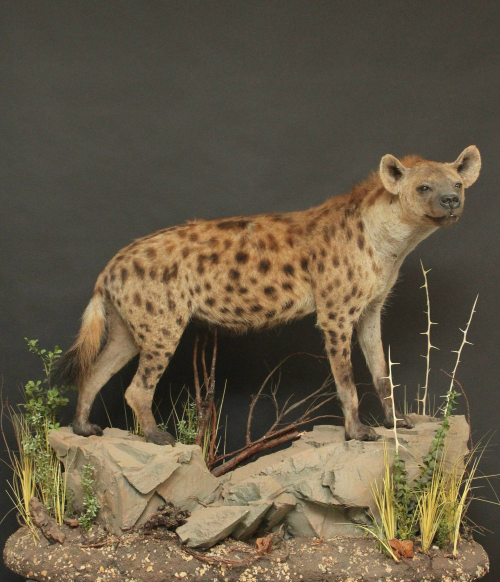 Lifesize  Hyena (1)