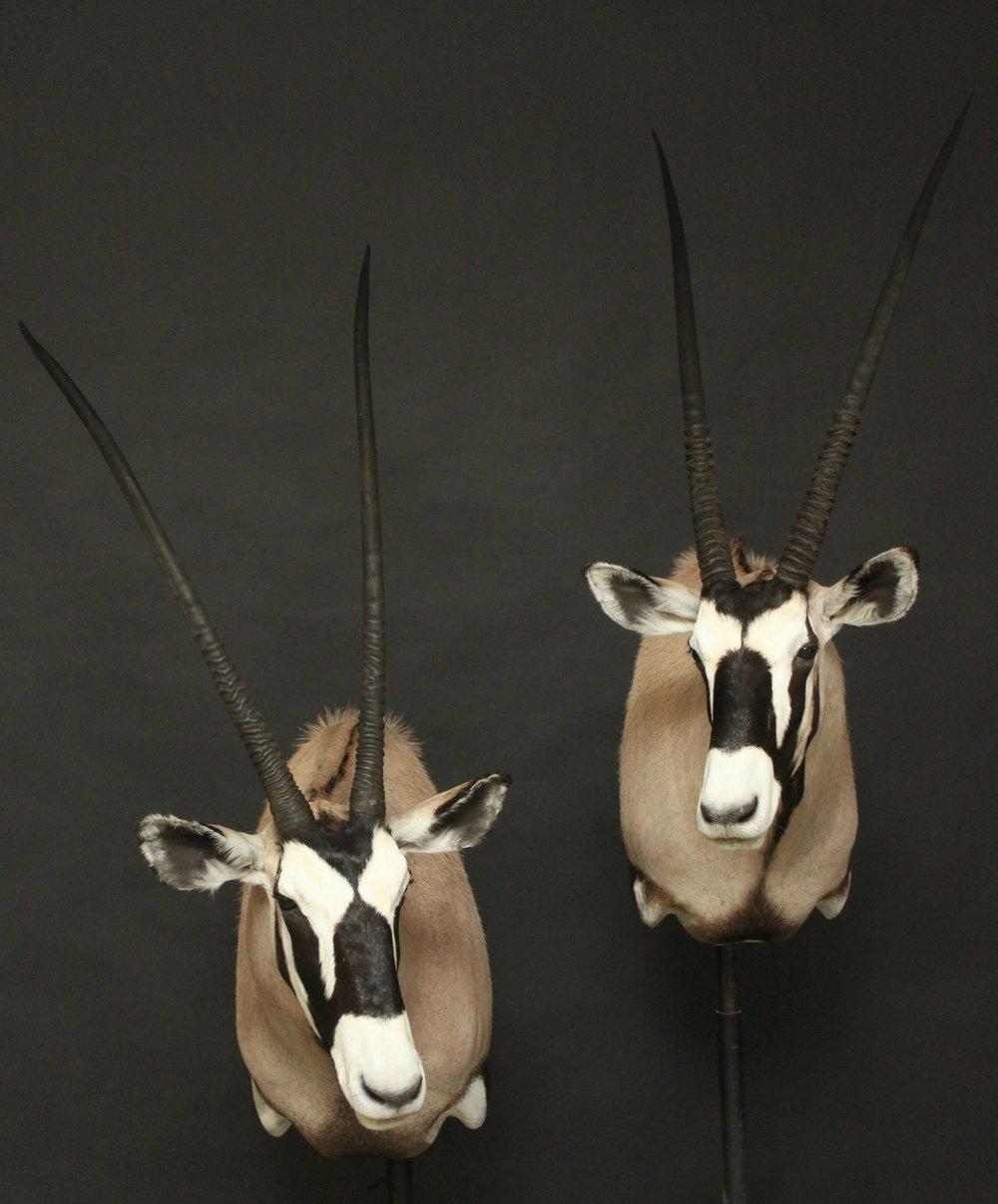 Shouldermount  Gemsbok (3)