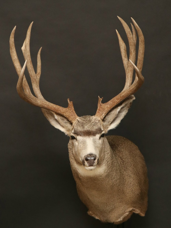 Mule Deer 27