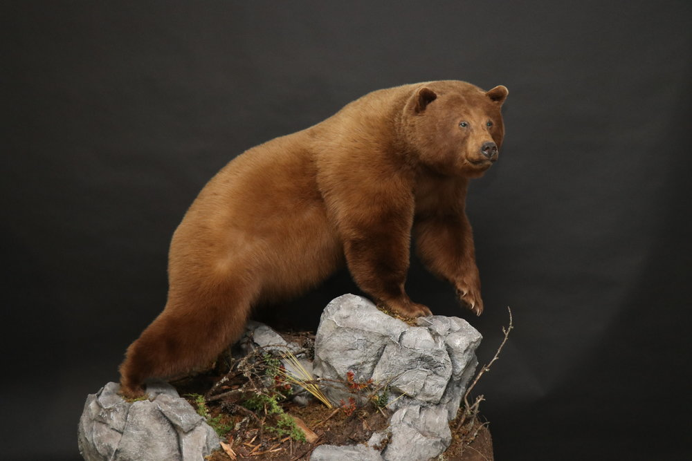 Lifesize  Black Bear 17