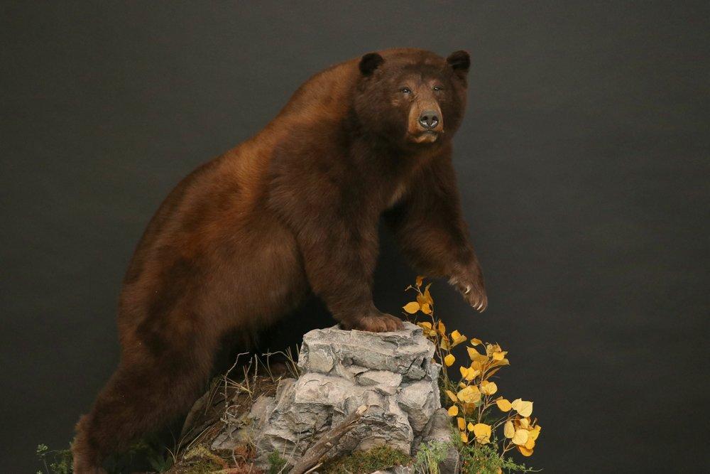 Life size  Black Bear 18