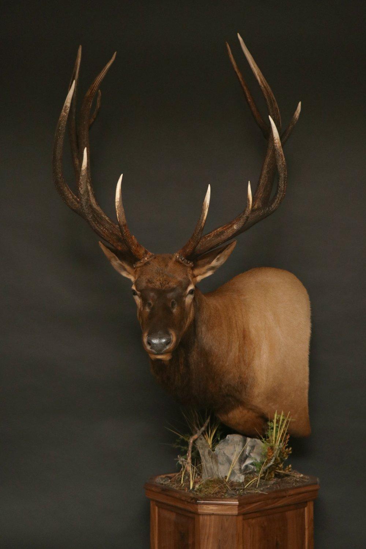 Elk 009
