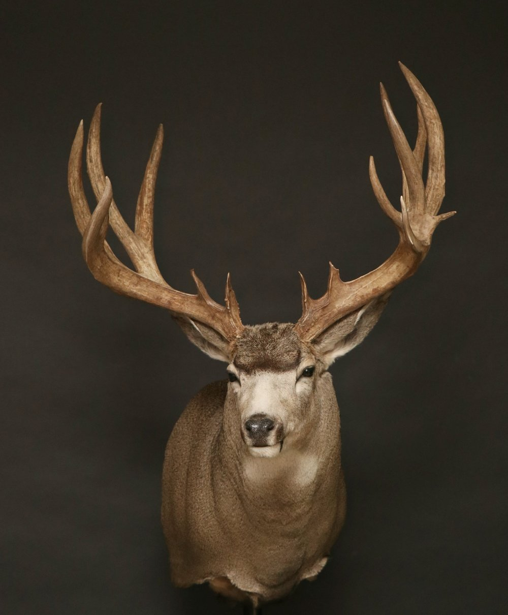 Mule Deer 31