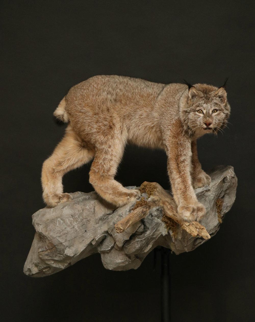 Lynx ().jpg