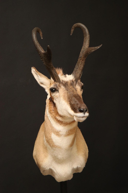 Antelope05