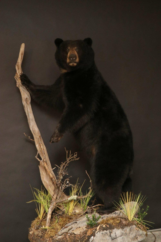 Black Bear 24