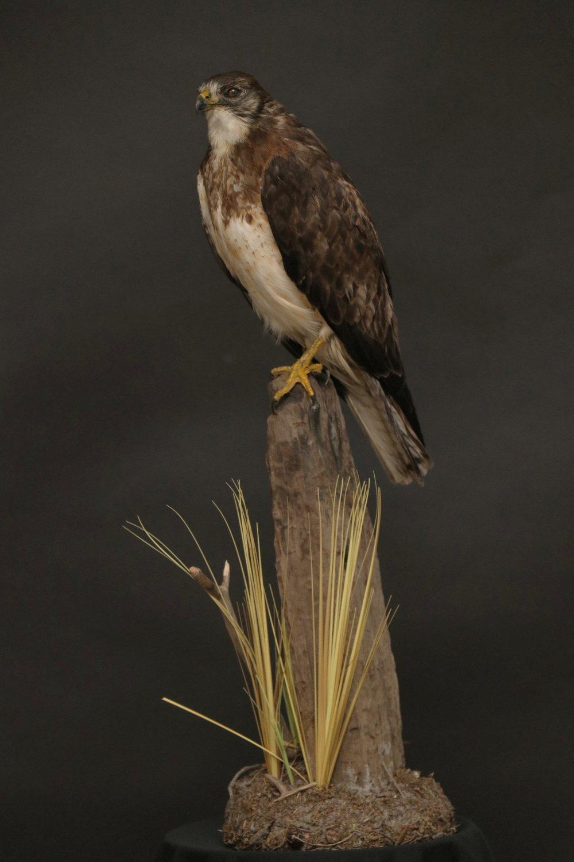 Hawk (1).JPG