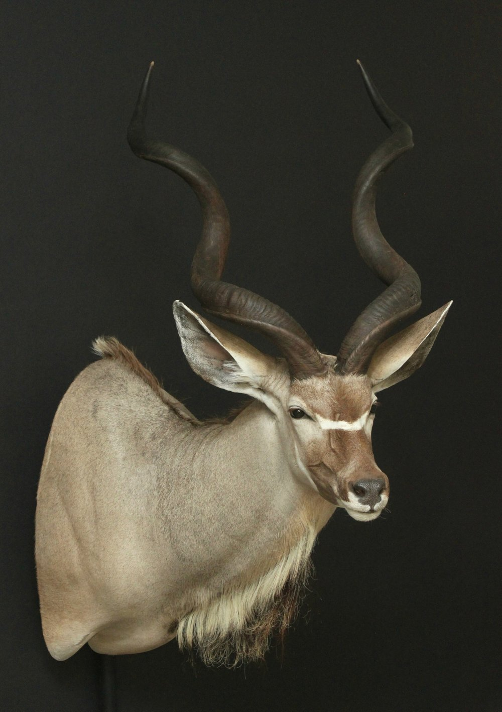 Shouldermount  Kudu (8)