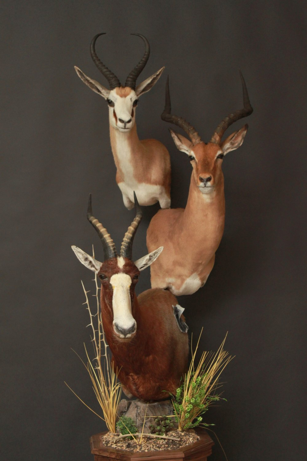 Triple Pedestal on Walnut  Springbok, Impala, Blesbok  Triple (4)