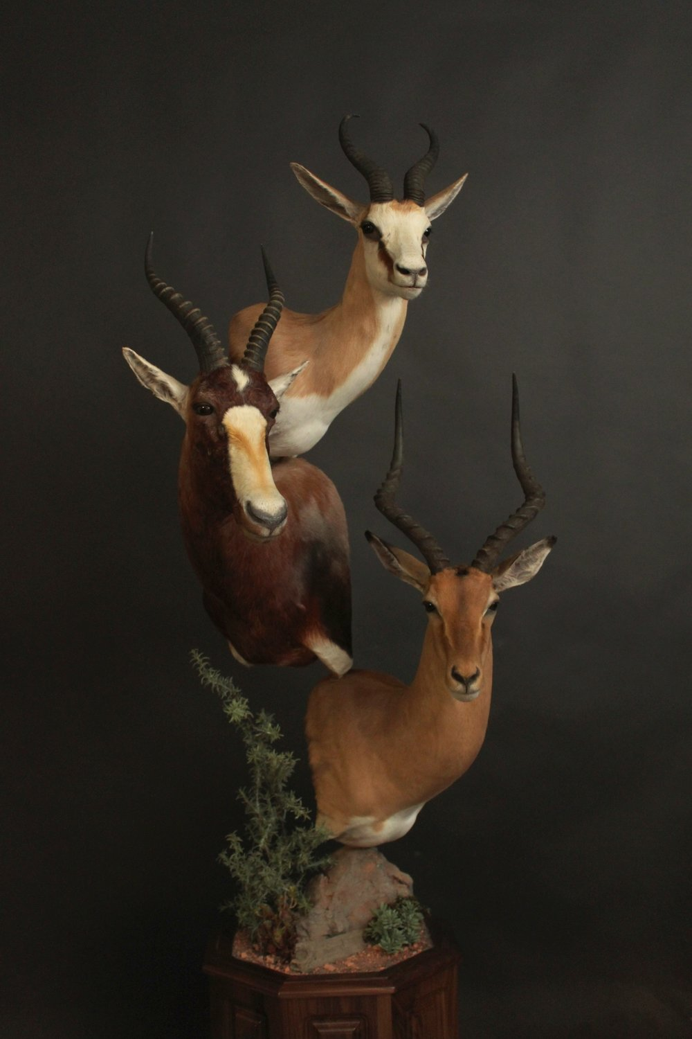 Triple Pedestal on Walnut  Springbok, Blesbok, Impala  Triple (6)