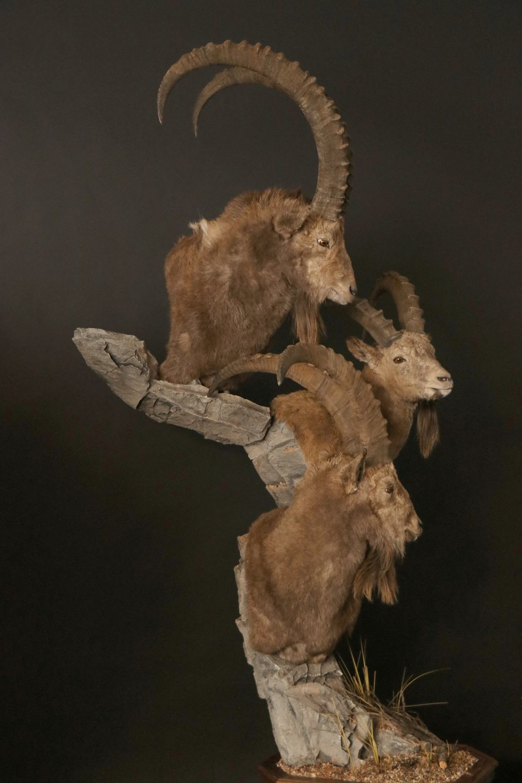 Triple Pedestal, custom turns, poses and rock  Ibex