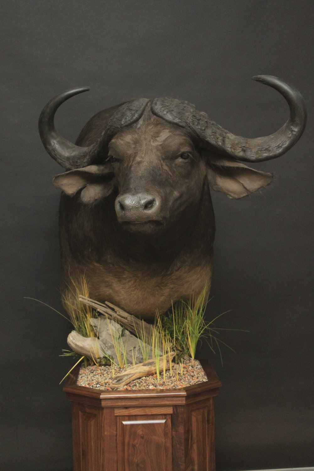 Cape Buffalo Pedestal on Walnut   Buffalo (4)