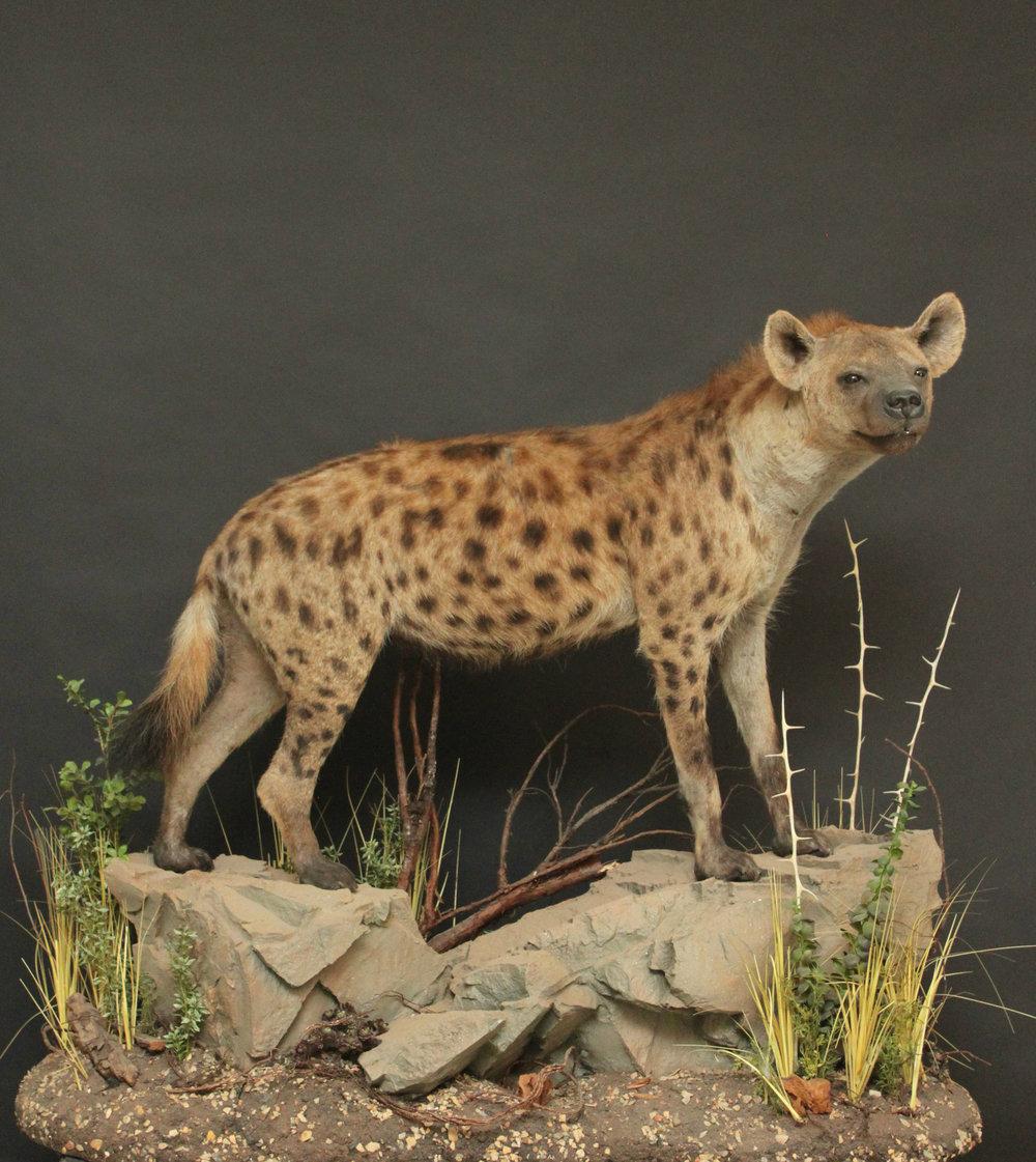 hyena (1-2).JPG