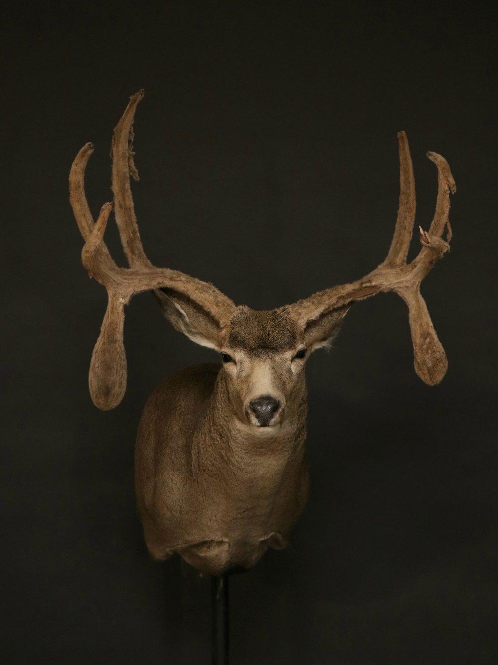 Mule Deer (34)
