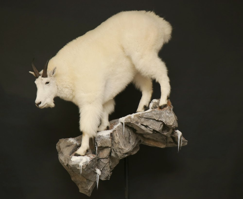 MountainGoat (2).jpg