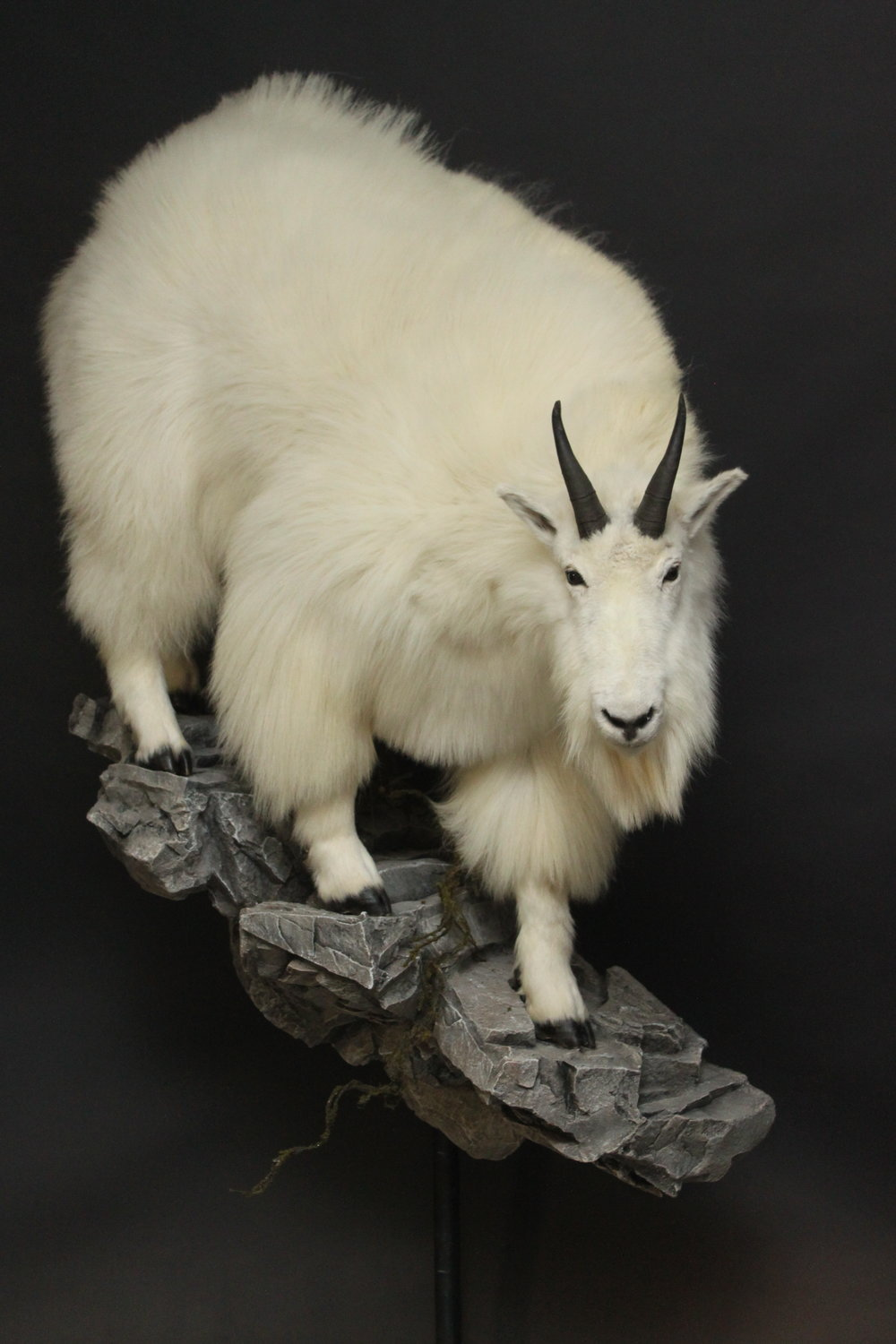 mountain goat (1-2).JPG