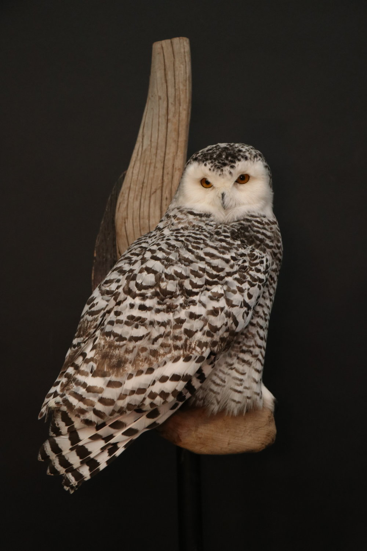 Owl (12).JPG