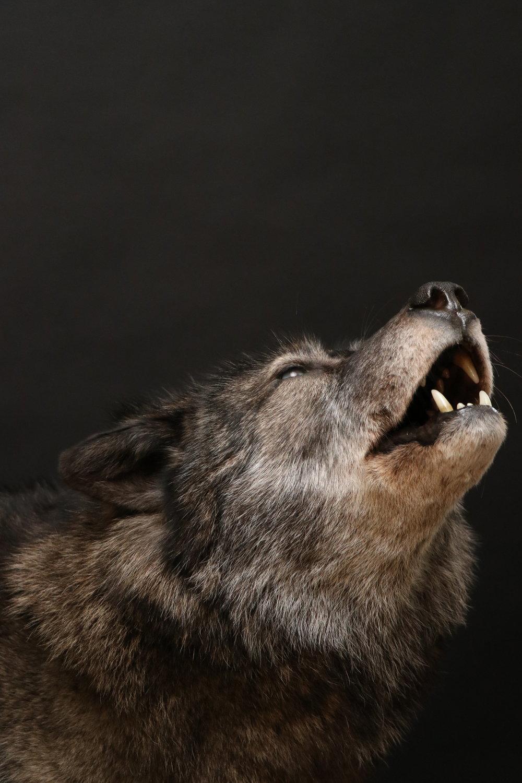 Wolf (4-2).JPG