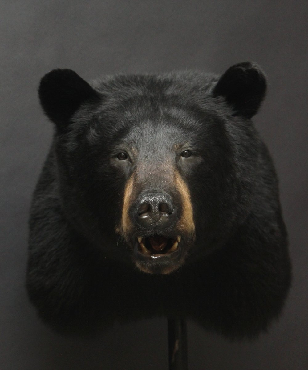 Shouldermount   Black Bear (1)