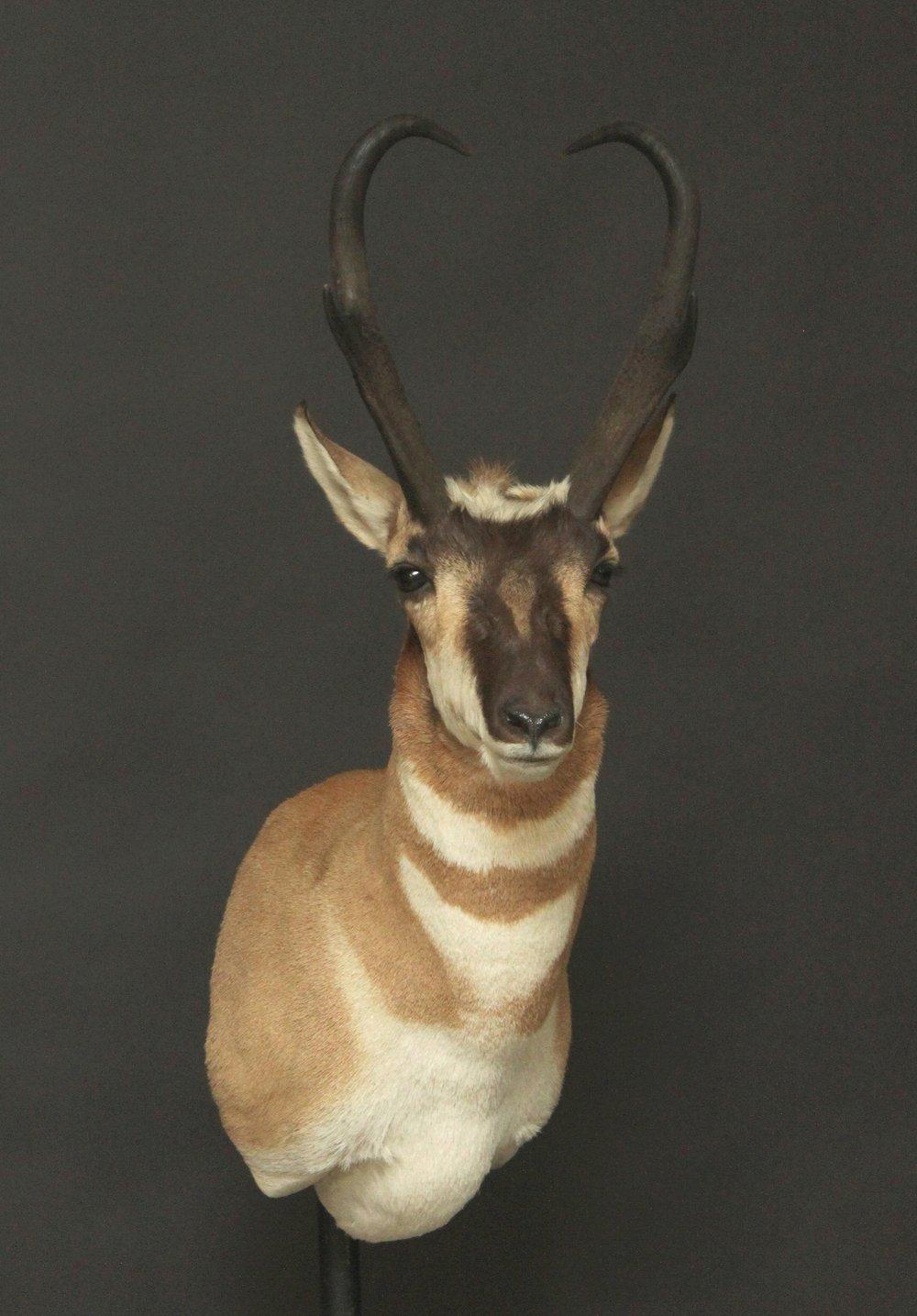 Antelope02