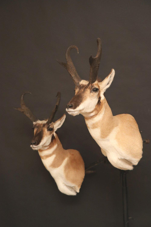 Antelope04