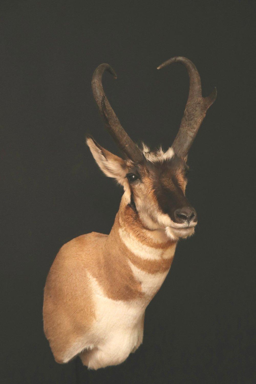 antelope (7).jpg