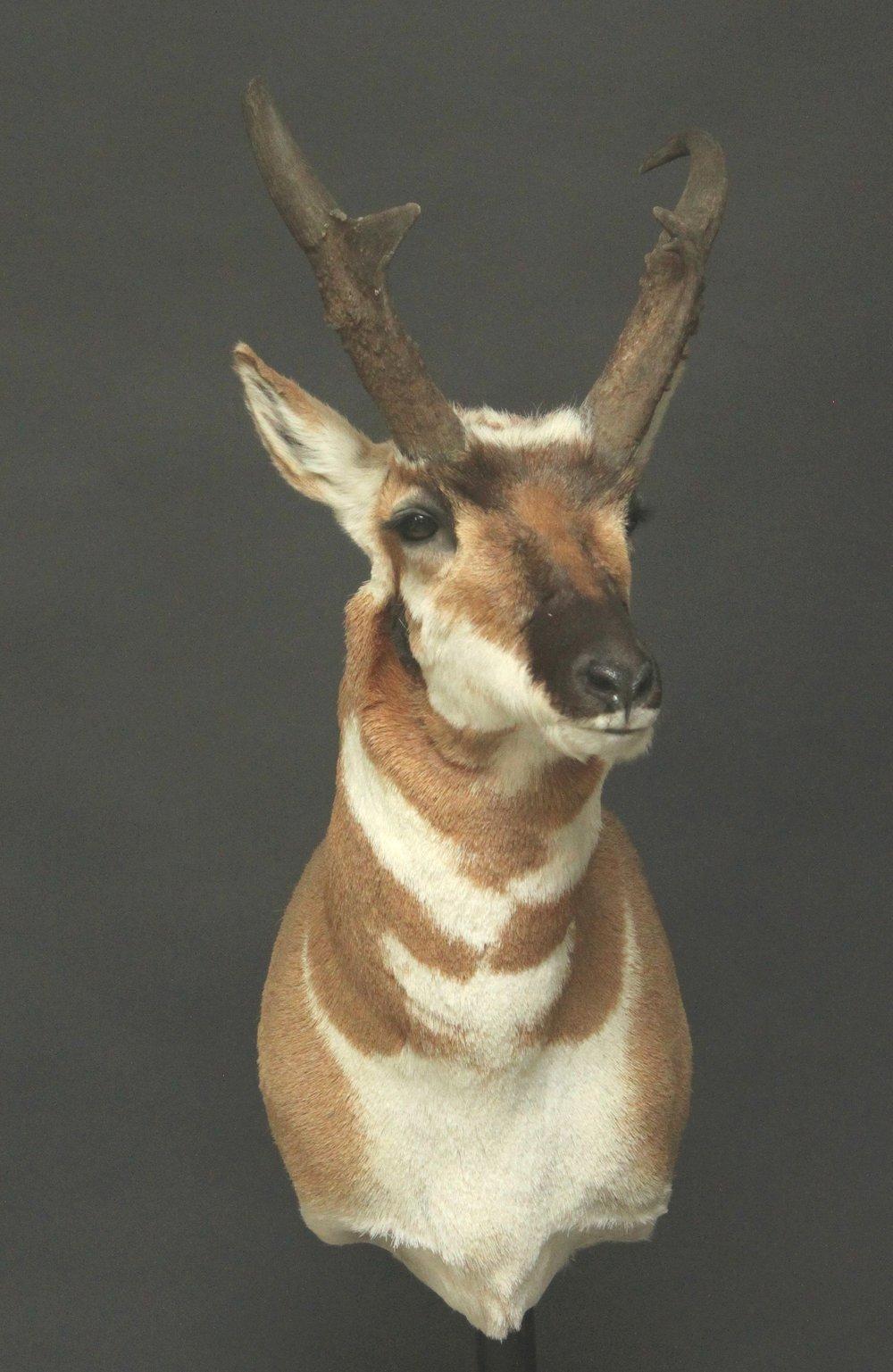 Antelope03