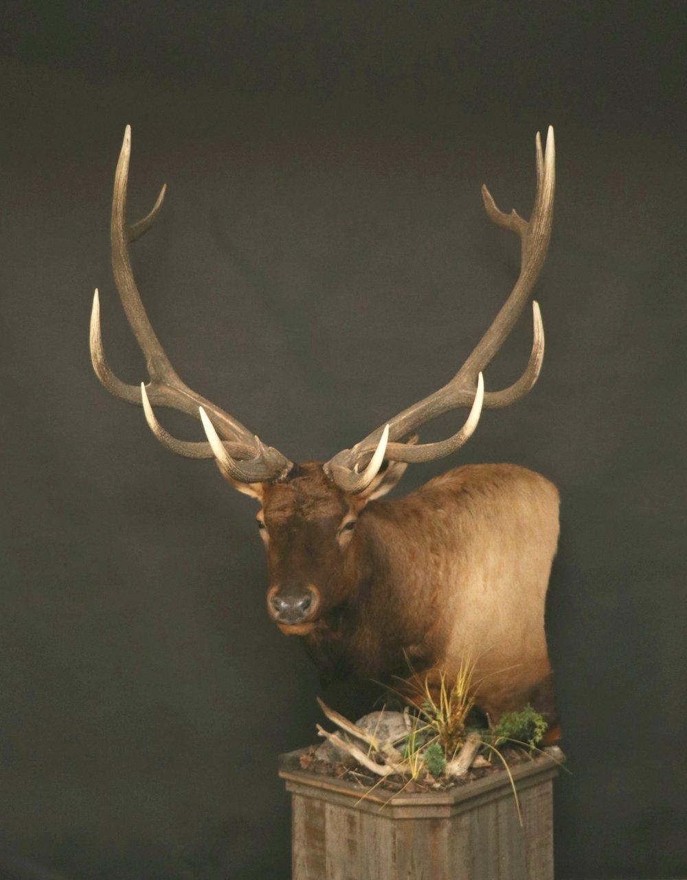 Elk 010