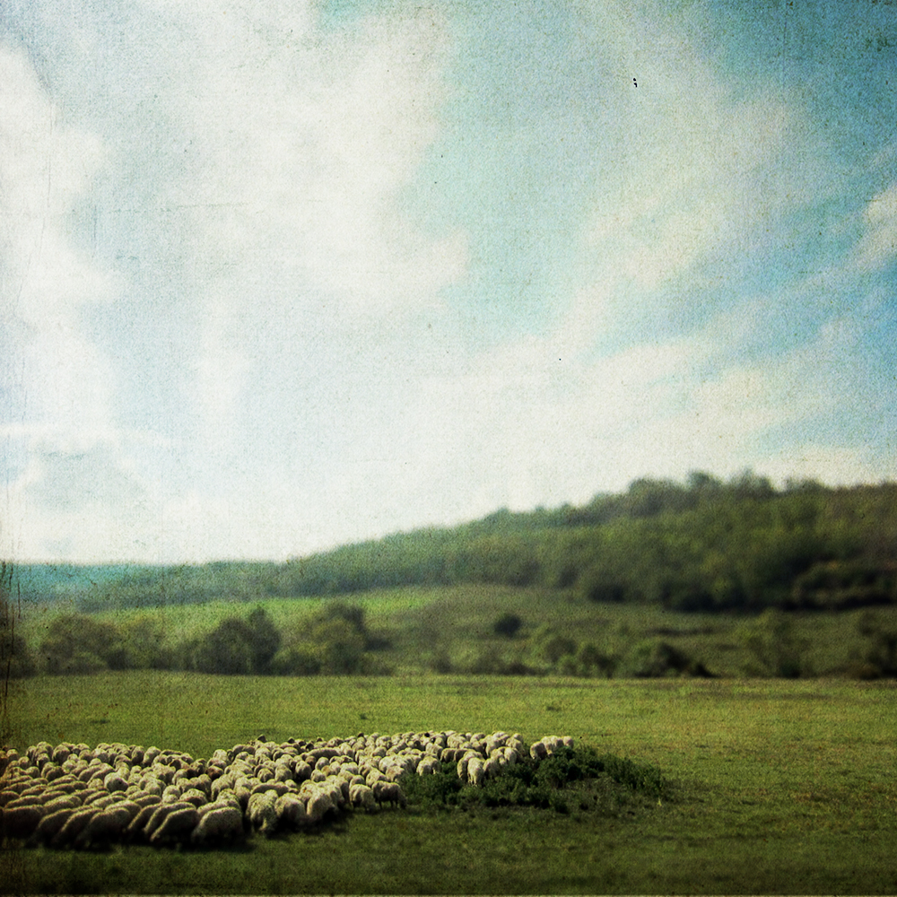 -- Herd of Sheep, Transylvania --