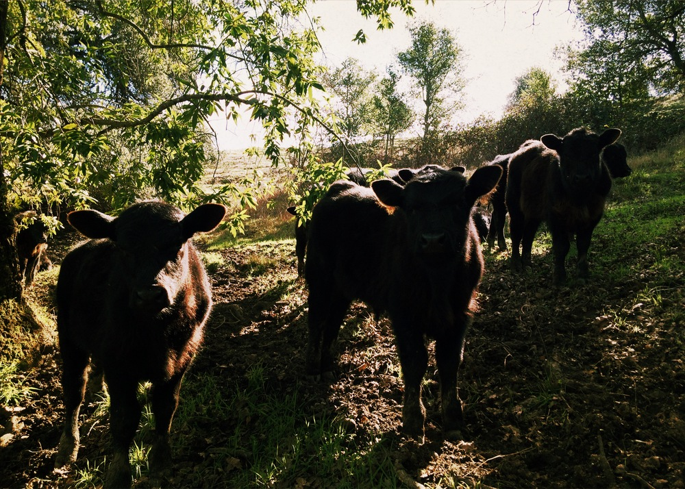 The cattle on the Ranch / Photograph © Don Alderon