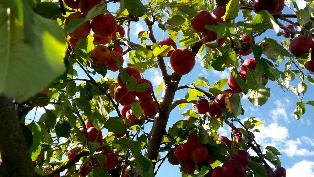 chestnut 3.jpg