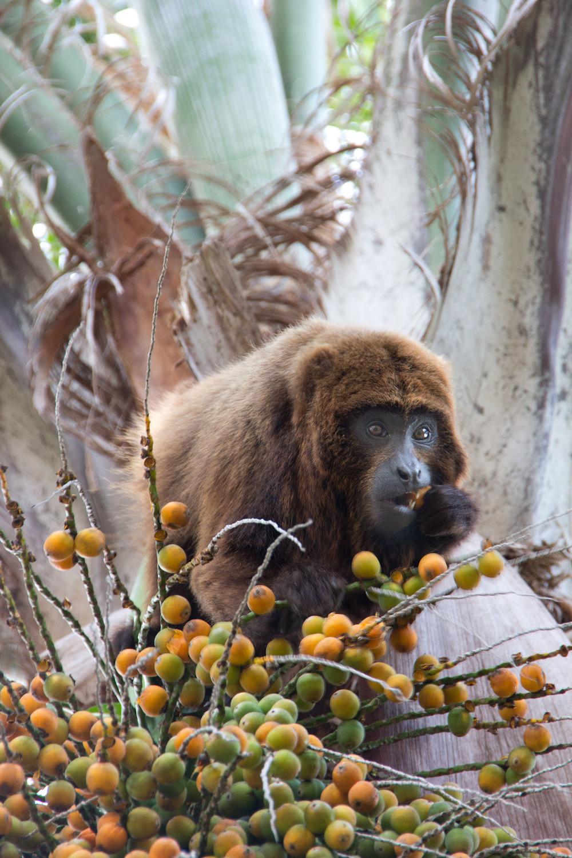 O fruto do Jerivá, vulgo coquinho, é seu manjar preferido.