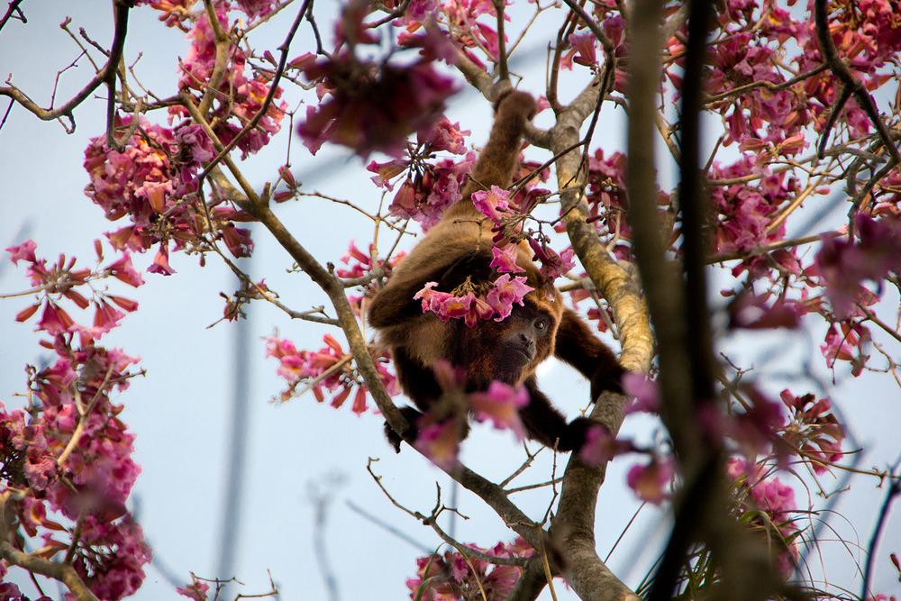 Os bugios apreciam também as flores do ipê roxo.