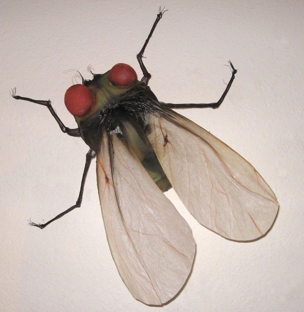 Velum-winged Fly.jpg