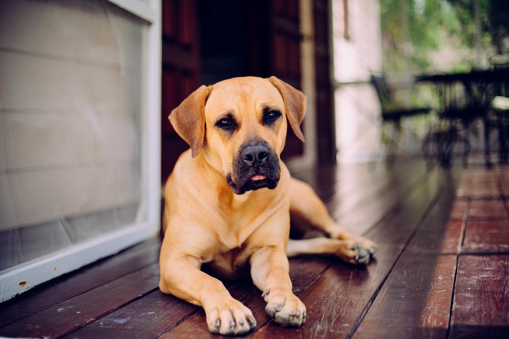 Pacha - Half Canine Corso and Half Mastiff