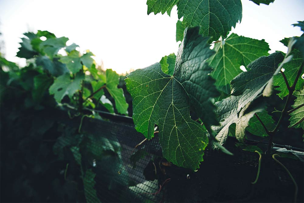 The vine that bears yummy Mendoza grapes