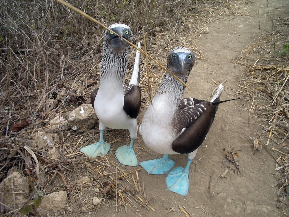 blueFootedBoobies.jpg