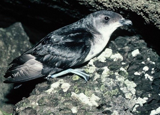 Adult common northern diving petrel, photographed on a rock stack north of Stanley Island, Mercury group, by Alan Tennyson.jpg