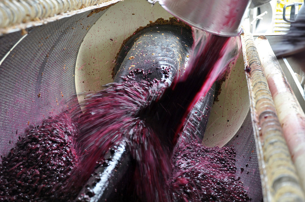 fermented red grapes going into press