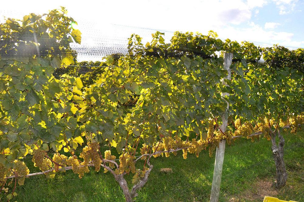 Chardonnay vine heavy with ripe fruit