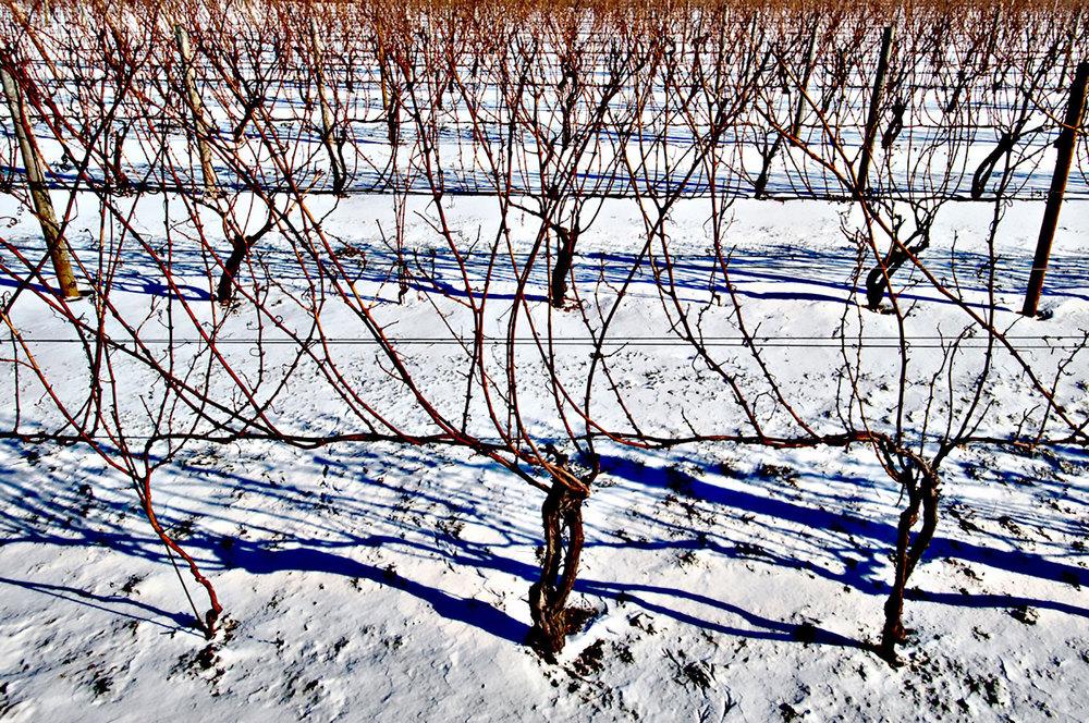 dormant vine in winter