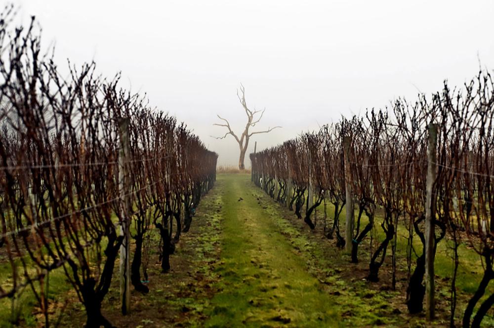 dormant vine rows in fog