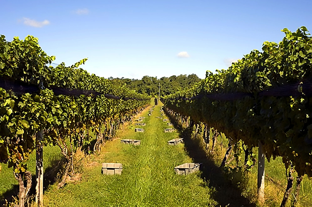 picking baskets laid out in vineyard