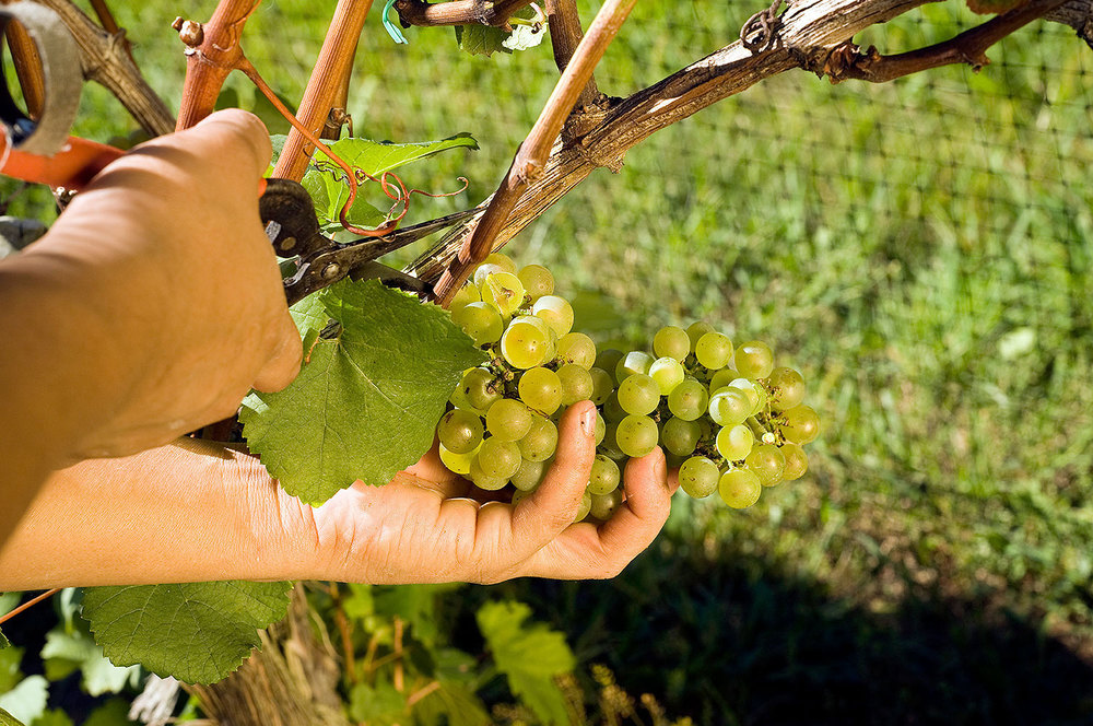picking a cluster of chardonnay