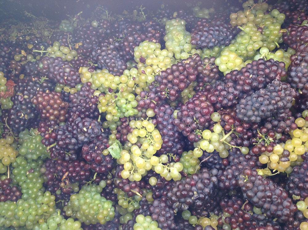 mixed grape varieties in press