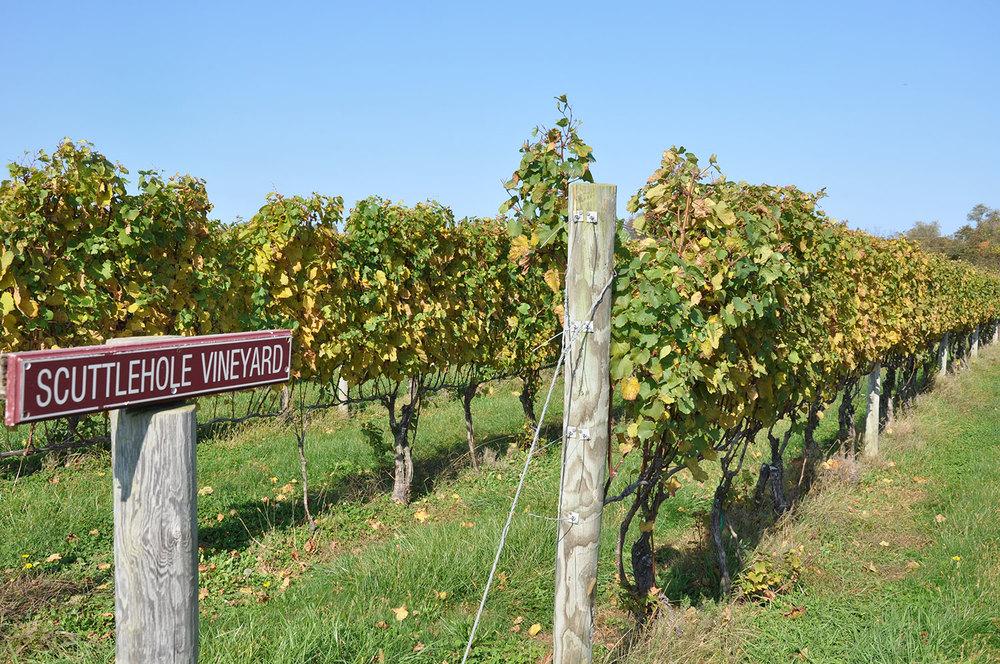 chardonnay vineyard after harvest