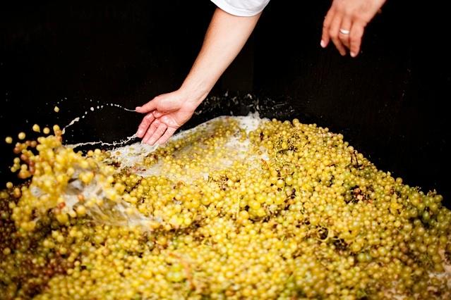 fermenting white grapes