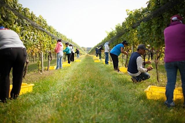 picking white grapes