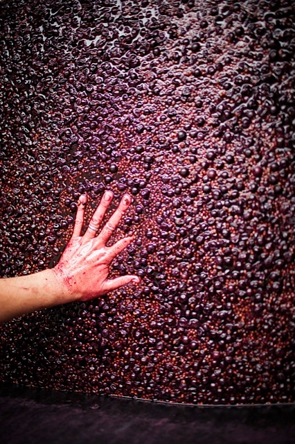pushing down fermenting red grapes by hand